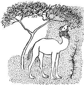 Отчего у верблюда горб